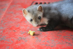 Marten. On a Red car Royalty Free Stock Images