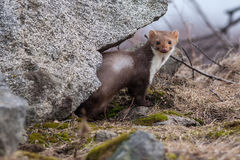 The marten. Sitting between stones Royalty Free Stock Photo