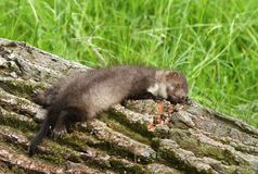 Marten sleeping Royalty Free Stock Images