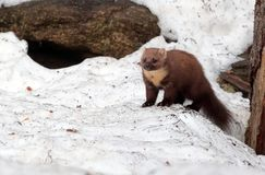 Marten on the snow Stock Photography