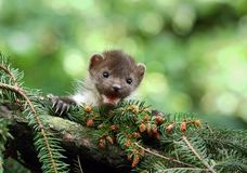 Marten on spruce Royalty Free Stock Photography