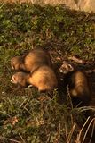 Marten. Three young martens at sunbathing stock images