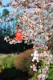 Martenitsas on flowering plum Stock Photo