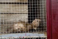 Marter in de dierentuin Stock Foto