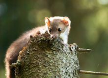 Martes foina -Stone  marten lying on the stump in forest Royalty Free Stock Images