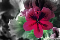 Martha Washington Geranium Stock Afbeelding