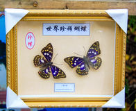Martial arts butterfly specimens Royalty Free Stock Photography