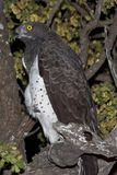 Martial Eagle. Perching in a tree. The shot was taken at night in Kruger Park, South Africa Royalty Free Stock Photo
