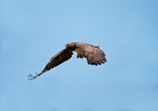 Martial Eagle Royalty Free Stock Images