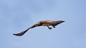 Martial Eagle. Swooping down to catch prey Royalty Free Stock Image