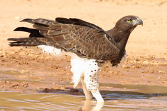 Martial Eagle. (Polemaetus bellicosus) in rain puddle in the the Kalahari Desert after a thunderstorm stock photo
