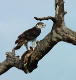 Martial Eagle. With its prey, a Cape Hare, in South Africa Stock Photography