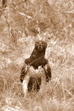 Martial Eagle Stock Image