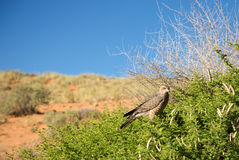 Martial Eagle in Botswana Royalty Free Stock Photography