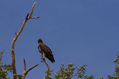Martial eagle on a branch Stock Photo