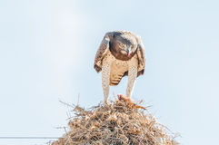 Martial eagle eating prey on communal bird nest. A martial eagle, Polemaetus bellicosus, eating prey on top of a communal bird nest, built on top a a royalty free stock images
