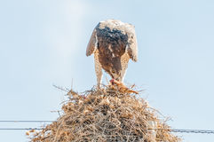 Martial eagle eating prey on communal bird nest. A martial eagle, Polemaetus bellicosus, eating prey on top of a communal bird nest, built on top a a stock image