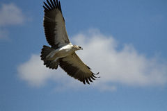 Martial Eagle In flight Royalty Free Stock Photography