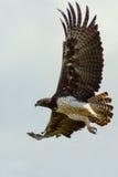 Martial Eagle Flying. A Martial Eagle flying in Kenya's Tsavo East National Park Stock Image