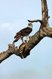 Martial Eagle with Hare in Kruger National Park, South Africa Stock Image