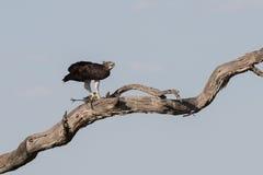 Martial Eagle kill Guinea Fowl Stock Photography