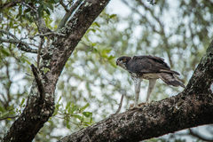 Martial eagle with a kill in a tree in the Kruger National Park. Royalty Free Stock Photography