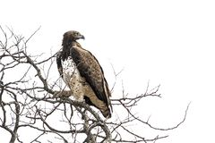 Martial Eagle in Kruger National park, South Africa. Specie Polemaetus bellicosus family of Accipitridae royalty free stock image