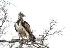 Martial Eagle in Kruger National park, South Africa. Specie Polemaetus bellicosus family of Accipitridae stock photo