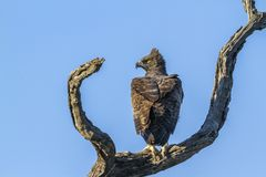 Martial Eagle in Kruger National park, South Africa. Specie Polemaetus bellicosus family of Accipitridae royalty free stock photo