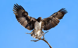 Martial eagle landing on perch Royalty Free Stock Photography