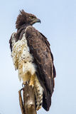 Martial Eagle Royalty Free Stock Photos