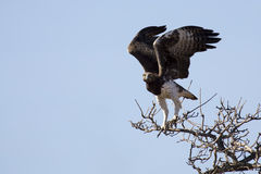 Martial eagle with large wings take off from tree against blue s Royalty Free Stock Photography