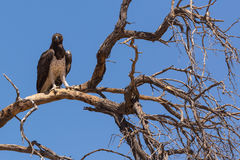 Martial Eagle Stock Photos