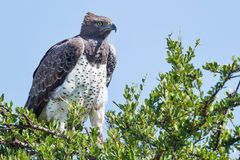 Martial Eagle Perched In Acacia. An adult Martial Eagle perched on top of an Acacia tree in Kenya's Olare Orok Conservancy Royalty Free Stock Images