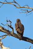 Martial Eagle perched in dead tree Royalty Free Stock Photography