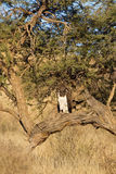 Martial Eagle perched in dead tree Stock Photography