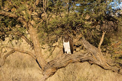 Martial Eagle perched in tree. An adult Martial Eagle (Polemaetus bellicosus) perched in a tree in the African bush, Kalahari desert Sputh Africa stock photos