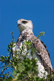 Martial Eagle. Photo of a Martial Eagle (Polemaetus bellicosus) on a tree in Massai Mara, Kenya royalty free stock image