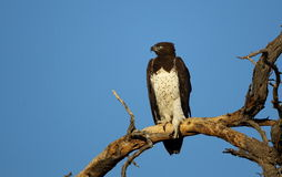 Martial Eagle. Photographed in the Kgalagadi Transfrontier Park Royalty Free Stock Photo