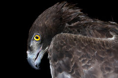 Martial eagle (Polemaetus bellicosus). Head of a martial eagle (Polemaetus bellicosus) isolated Stock Photos