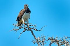 Martial eagle, Polemaetus bellicosus,  bird with white throat. Eagle sitting on the top of the tree, blue sky in the background. W Royalty Free Stock Photos