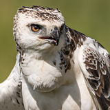 Martial eagle (Polemaetus bellicosus) Royalty Free Stock Photo