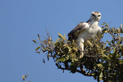 Martial Eagle (Polemaetus bellicosus)(Juvenile). Juvenile Martial Eagle (Polemaetus bellicosus) looking right in Kruger National Park, South Africa royalty free stock photos