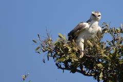 Martial Eagle (Polemaetus bellicosus)(Juvenile) Royalty Free Stock Photos
