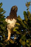 Martial Eagle (Polemaetus bellicosus). In Kruger National Park, South Africa. The biggest bird of prey in Africa stock photography