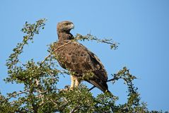 Martial Eagle - Polemaetus bellicosus. Large colourful eagle from Kenya, Taita hills reserve stock image