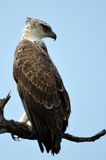 Martial Eagle (Polemaetus bellicosus). Looking backwards in Kruger National Park, South Africa stock photography