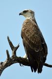 Martial Eagle (Polemaetus bellicosus). Looking forward in Kruger National Park, South Africa stock photo