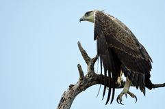Martial Eagle (Polemaetus bellicosus) stock images