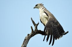 Martial Eagle (Polemaetus bellicosus). Looking forward with spread wing in Kruger National Park, South Africa stock photography